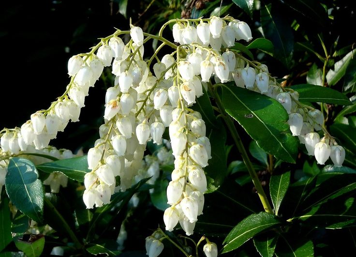 Pieris japonica goes by many names, including Japanese andromeda, lilyofthevalley shrub and Japanese pieris. Whatever you call it, you'll never be bored with this plant. Read here for tips on growing this plant.