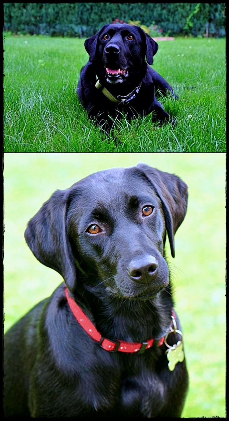 Labrador Dog Breed Find Out About Labradorchocolate