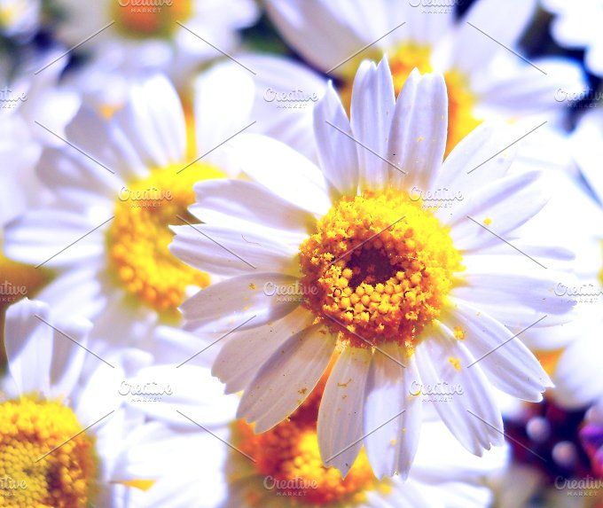 chamomile flowers by Lesia.kabakova on @creativemarket