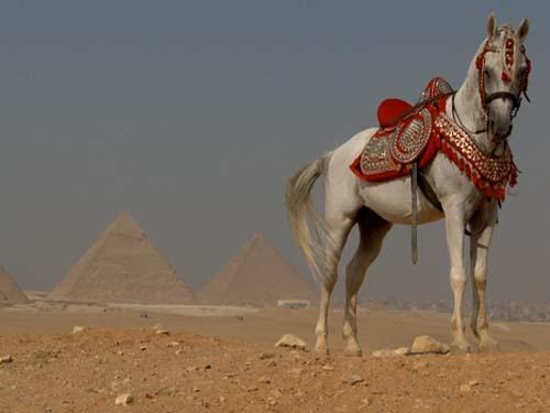 Arabian Horse - Salome Productions is pleased to bring you bellydanceforums.net, iBellyDance.net and OrientalDancer.net.