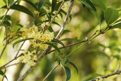 Sweet Olive Propagation: How To Root A Sweet Olive Tree -  Sweet olive is an evergreen with delightfully fragrant blossoms and dark shiny leaves. Virtually pest free, these dense bushes require little care and are easy to propagate from sweet olive cuttings. For more information on propagation, click here.