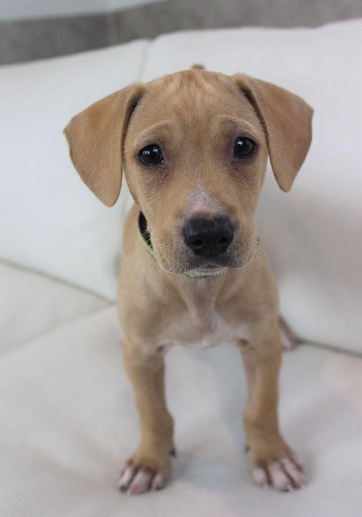 Adopt everett on petfinder beagle mix puppies dog