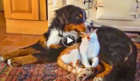 Funny Dog Video | canines many attempts to be feline's friend  --  When dogs like you, and you don't like them, they don't give up trying to win you over. Here are some extremely determined dogs and their humorous attempts to befriend cats. Unfortunately for dogs, their in-your-face style of friendship doesn't mesh very well with personal space-loving cats. But after many repeated rejections, some canines finally get the felines to change their minds.