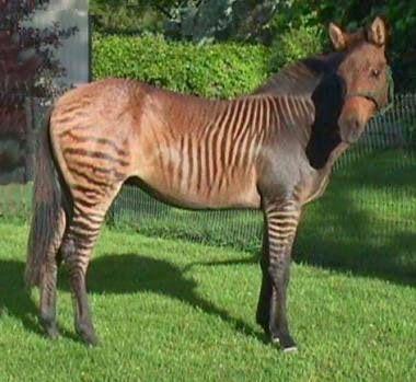 """Hay mezclas de equinos más curiosos, como los """"zorses"""", nombre combinado del inglés zebra (cebra) y horse (caballo), que acompañan a los viajeros en rutas de senderismo por el monte Kenia."""