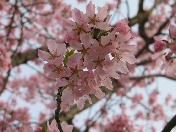 Cherry Blossoms of Spring