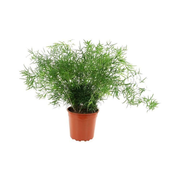 Asparagus falcatus. Plante grimpante ou retombante. Feuillage très fin. Feuilles en forme de faucille, vert foncé brillant.