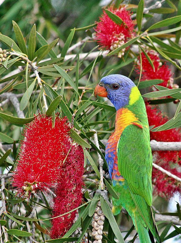 Mullaloo - Rainbow Lorikeet in Crimson Bottlebrush, Australia