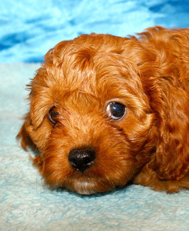 Cavapoo Puppies For Sale Kisumu Kenya