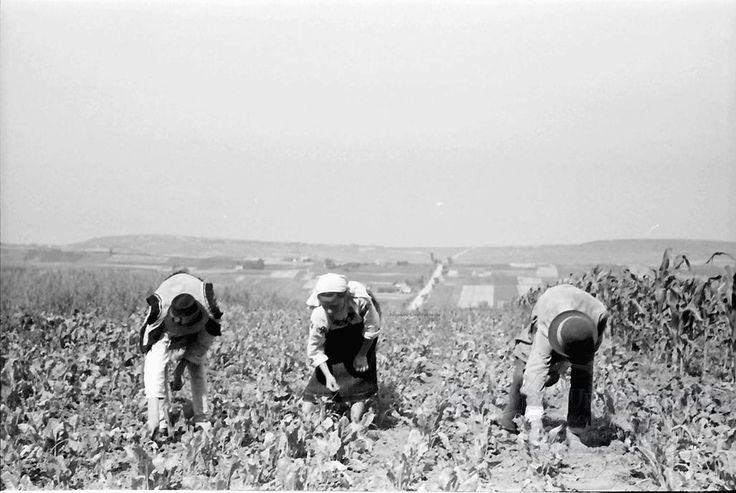 B60.Cernauti.Bukowiner Bauern im Feld, gebückt.24. Juli 1941.Fotograf Willy Pragher