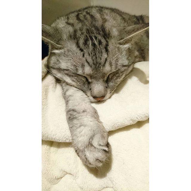 * . Into the dream ⭐ . マグは私を寝かしつける天才で、不眠症が酷い時はずっと寄り添ってくれます :) その温もりが心地よくて寝れるってゆうね⭐本当に良い子! . . #うちの子全員良い子よ #猫#cat#野良猫#元野良猫#保護猫 #多頭飼い#愛猫#猫と暮らす#ニャンスタグラム #猫のいる暮らし#猫のいる生活#ねこ部 #マグロ君#maguro#でかい猫#bigcat #添い寝#甘えん坊#ねこら部#ねこすたぐらむ #一緒に二度寝#私以上に二度寝長い #いつも寝顔が可愛い#親バカ