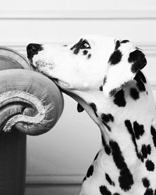 10 Interesting Facts about Dalmatians - Annie Many