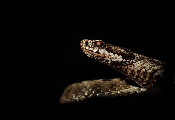 Angry viper snake - prints for sale