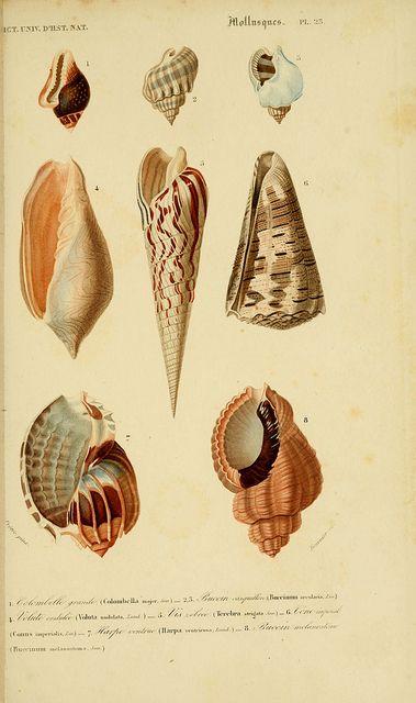 1849 - Atlas (Zoologie-Botanique) Paris #nature #shells #scientific #illustration