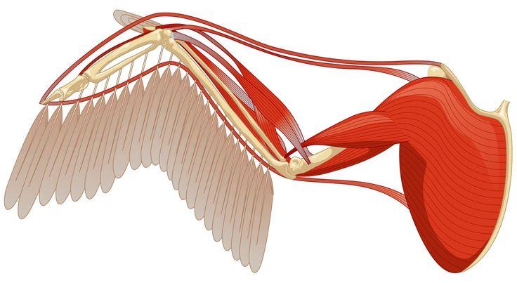 bird wings anatomy - 736×403