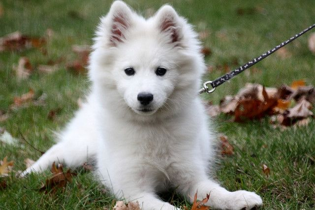 My American Eskimo Puppy, via Flickr.