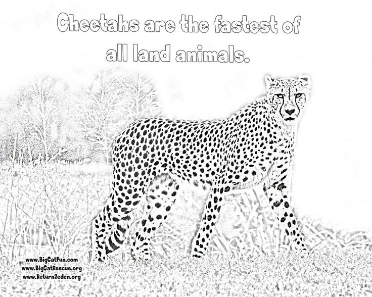 Online Cheetah Coloring Pages