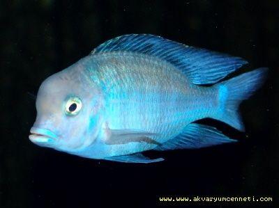 Yunus Ciklet Balığı