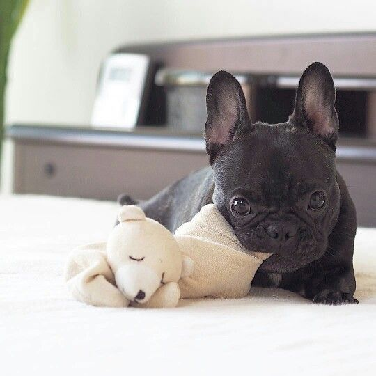 Good Morning America French Bulldog : Best images about american bulldogs on pinterest