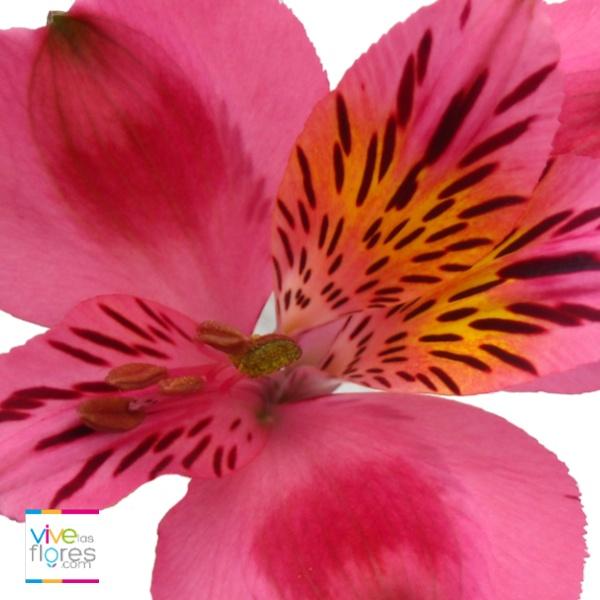 Alstroemerias rosadas. Colores profundos que te invitan a vivir!. Las alstroemerias de vivelasflores.com tienen una larga vida en florero, lo que te permite disfrutarlas mucho mas...