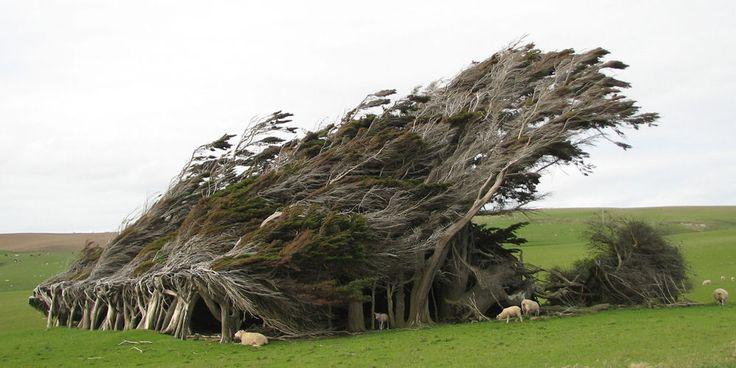 Ferde fák, Új-Zéland