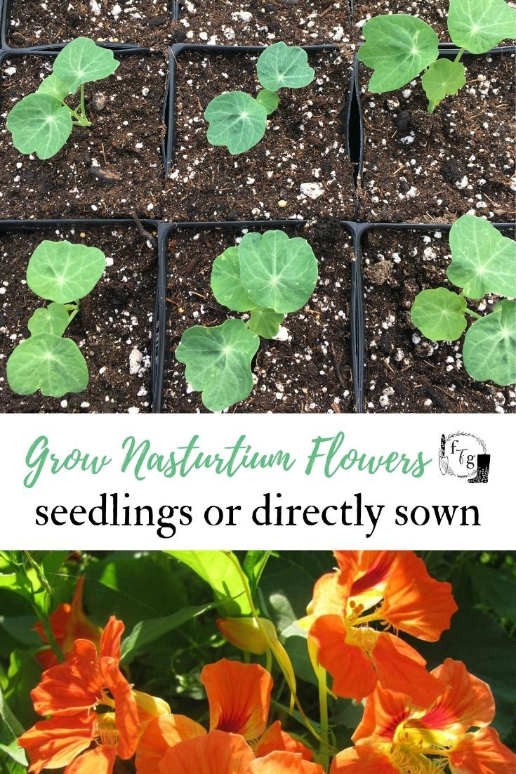 Nasturtium Flowers From Seed Colors And Varieties Family Food Garden Nasturtium Flower Seeds Food Garden