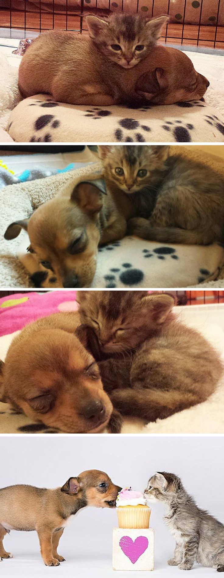These two tiny critters were all alone in the world — until they found each other.  Chip is a 5-week-old Chihuahua who was brought to Operation Kindness in Carrollton, Texas last week by people who couldn't care for him. Little Adele is a 4-week-old kitten who was found all by herself as a stray.  The orphans were paired together by the staff in hopes that they would keep each other company.