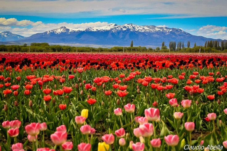Tulipanes en Trevelin ,Chubut