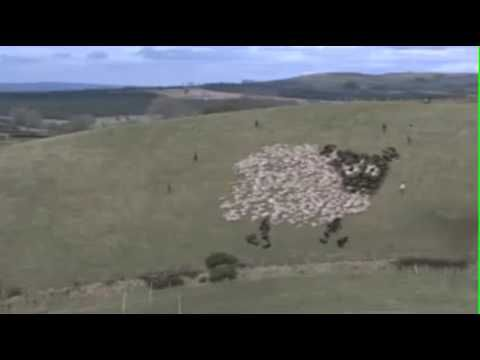 Extreme Sheep Herding - With Lights! This is absolutely fabulous!! LOVE these intelligent, highly trained border collies!