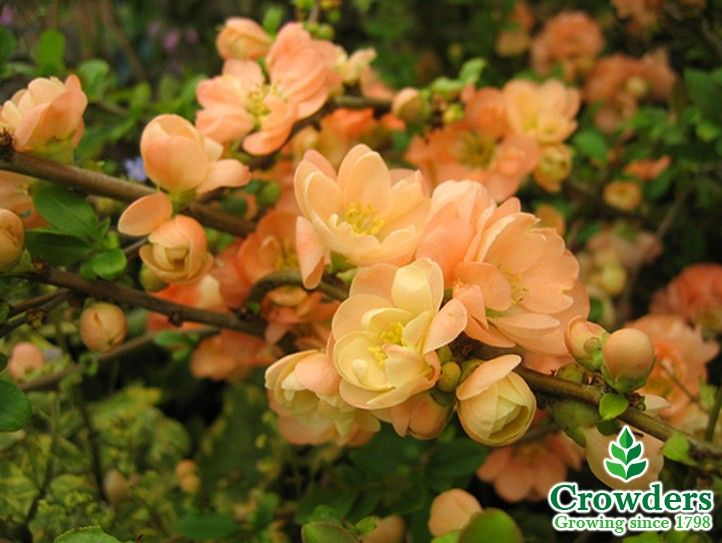 flowering quince japanese quince or japonica geisha girl is a spreading deciduous thorny shrub - Quince Flower