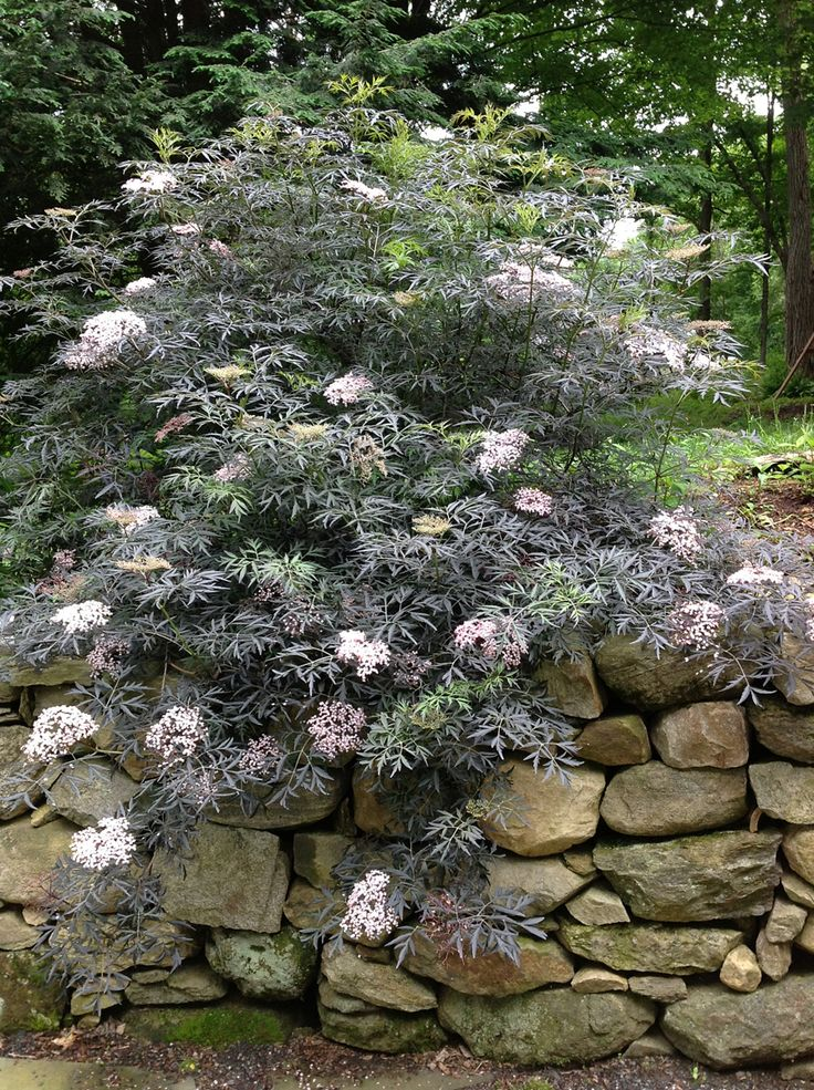 Black Lace Elderberry: zone 4 h:5-10' w:5-10'   full sun. Looks more like a Japanese maple with lacy intense purple-black foliage but a whole lot easier grow. Massive lemon fragranced pink flowers in midsummer. Proven Winners®.