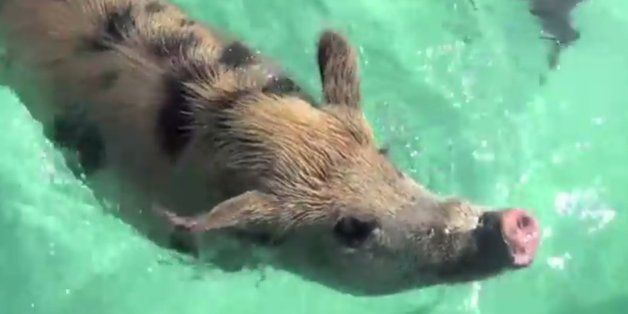 You Can Swim With Adorable Pigs In The Bahamas Because Why Not