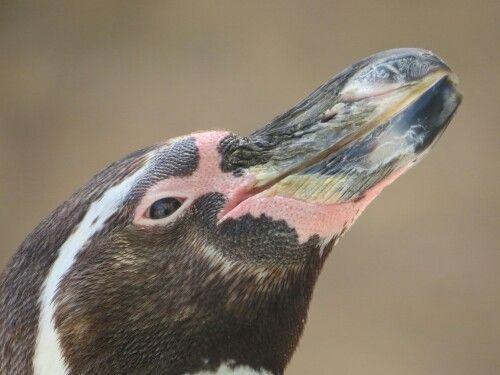 Pinguino Zoológico Santiago Chile