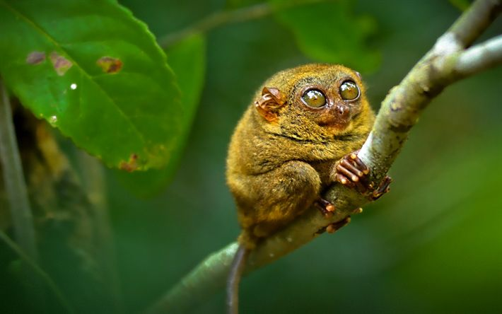 Herunterladen hintergrundbild philippinische tarsier, primat, lustige tiere, tarsier, wildlife
