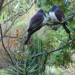 Kereru at Wharepuke Subtropical Gardens in Kerikeri. Open to the public to wander free