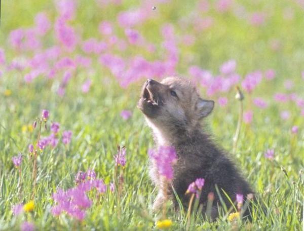 #bebe #cachorro #lobo #animalesbonitos #naturaleza