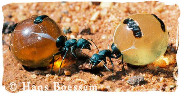Google Image Result for http://www.ausemade.com.au/aboriginal/advertise/promote/hboessem/hb-yellow-brown-honeyants.jpg