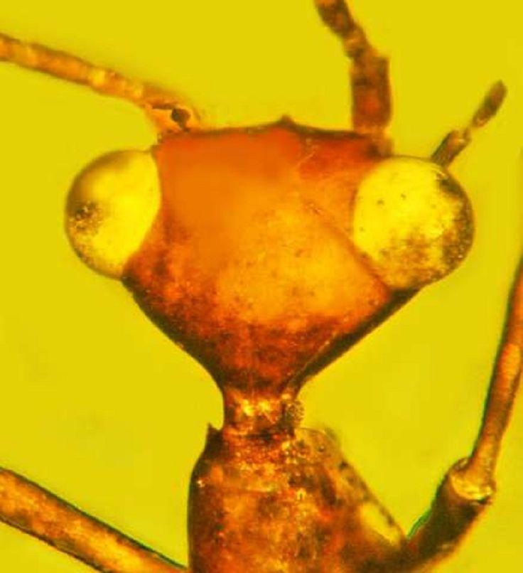 Oregon Üniversitesi araştırmacıları, amber içinde korunan garip bir böcek türü keşfetti.