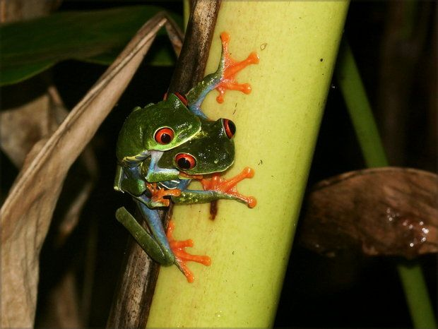 Коста Рика, лягушачья любовь