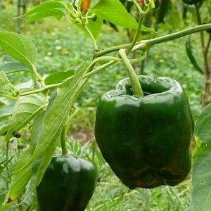 Información sobre cómo cultivar, plantar y cosechar el chile Ancho Poblano. Ingresa para conocer todos los detalles en nuestra enciclopedia de chiles!