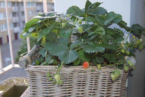 A szamóca termesztése erkélyen!