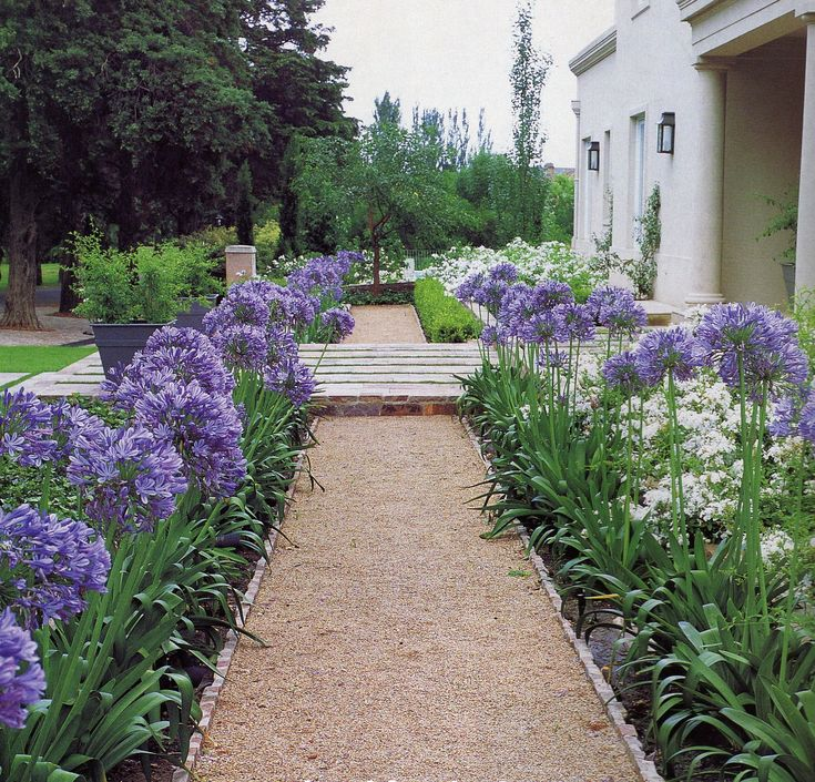 Agapanthus edging