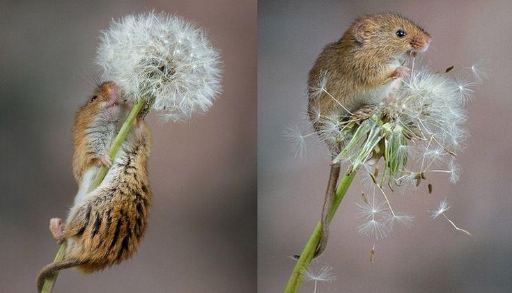 Foto del día: Curioso ratón juega con un diente de león | Planeta CuriosoFoto del día: Curioso ratón juega con un diente de león - Planeta Curioso