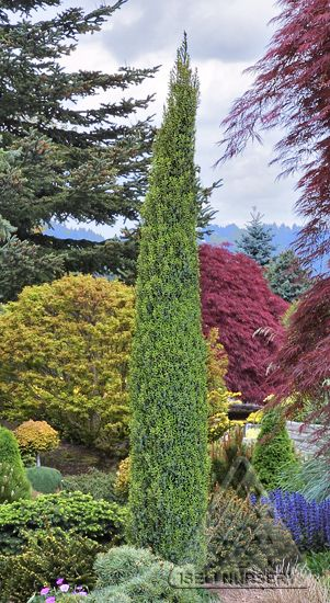 Perfect as a single vertical accent or planted in groupings, the hardy Juniperus communis 'Compressa' slowly grows tall while remaining extremely narrow.