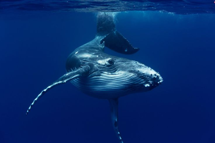 FLIPP Management | Jem Cresswell gets up close and personal with a whale in #Tonga #underwater #photography
