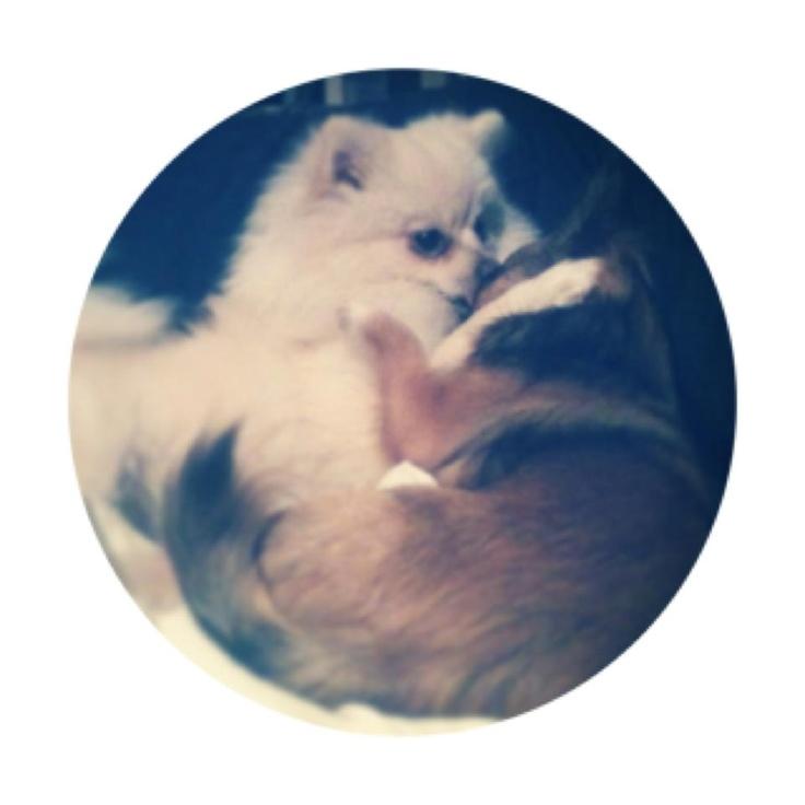 Bonzo the Chihuahua and my new baby Indi the Pomeranian #pomeranian #chihuahua