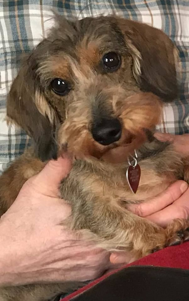 Adopt Bassie On Cute Dogs Dachshund Rescue Pets