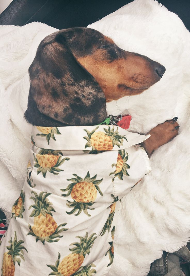 Sleepy dapple Miniature Dachshund in ALOHA shirt