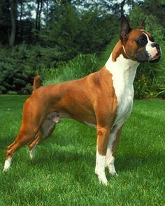 We will go over information on the American Boxer dog, puppy training, as well as Pitbull Rescue centers and how to adopt a pitbull.