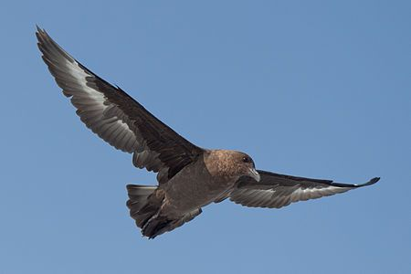 Brown Skua at sea, near Dyer Island, Western Cape, South Africa