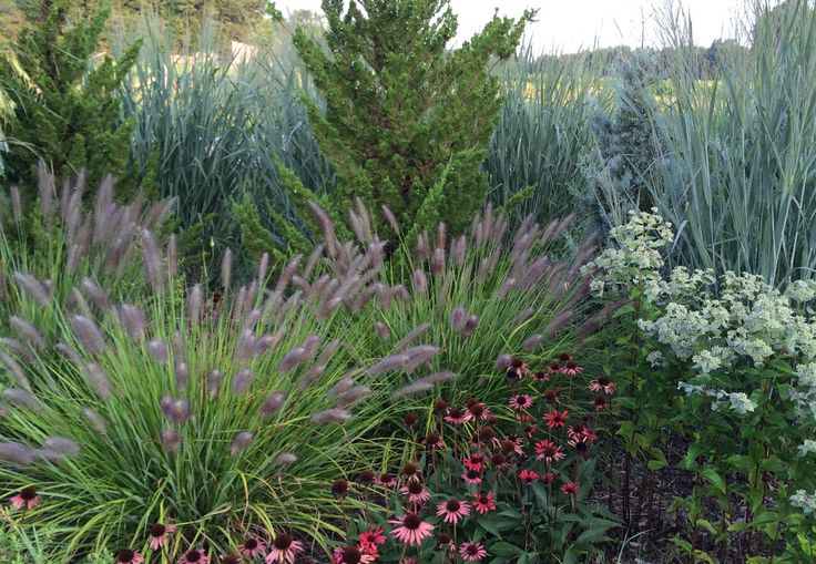 17 best images about grass on pinterest gardens sun and for Red landscaping grass